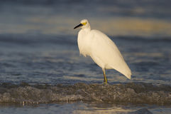 Snowy Egret, Egretta thula Royalty Free Stock Photos