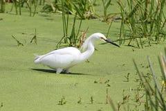Snowy Egret (Egretta thula) Royalty Free Stock Photography