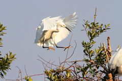 Snowy Egret (Egretta thula) Royalty Free Stock Photography