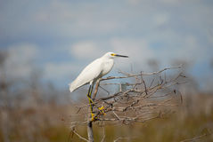 Snowy Egret Egretta thula. Snowy Egret In Everglades National Park royalty free stock image