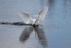 Snowy Egret (Egretta thula). With small fish in mouth gracefully landing Royalty Free Stock Photos