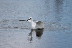 Snowy Egret (Egretta thula). Landing in a pond. The wing position is reminiscent of a swan Stock Photo