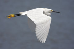 Snowy Egret (Egretta thula) Royalty Free Stock Photos