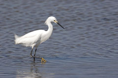 Snowy Egret (Egretta thula) Royalty Free Stock Images