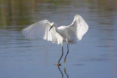 Snowy Egret (Egretta thula) Stock Photos