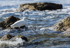 Snowy Egret (Egretta thula) on the Beach in Mexico Royalty Free Stock Images