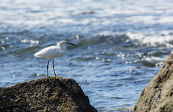 Snowy Egret (Egretta thula) on the Beach in Mexico Stock Image