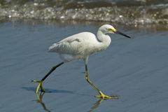 Snowy Egret, Egretta thula. A beautiful, small white heron hunts for fish along the shore of the Pacific Ocean, Peru Stock Photography