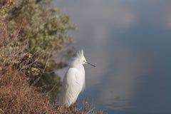 Snowy Egret, Egretta thula, bird Royalty Free Stock Photo