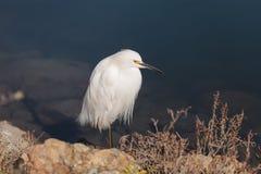 Snowy Egret, Egretta thula, bird Stock Image