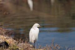 Snowy Egret, Egretta thula, bird Royalty Free Stock Image