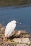 Snowy Egret, Egretta thula, bird Royalty Free Stock Photos