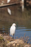 Snowy Egret, Egretta thula, bird Stock Images