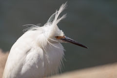 Snowy Egret, Egretta thula, bird Stock Photo