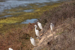 Snowy Egret, Egretta thula, birds Stock Photo