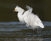Snowy Egret in breeding plumage - Pinellas County, Florida. Snowy Egret Egretta thula in breeding plumage - Pinellas County, Florida Royalty Free Stock Images