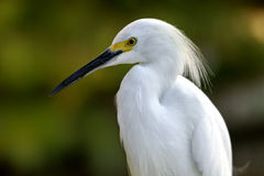 A Snowy Egret  Egretta thula close up Stock Photos