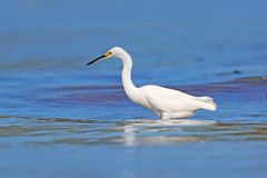 Snowy Egret, Egretta thula, on the coast. Bird with the dark blue sea. Heron in the water, Costa Rica. First light with bird. stock photos