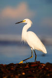 Snowy Egret, Egretta thula, in the coast habitat. Heron with sun in the morning sunrise. Bird with the dark blue sea. Heron in the Royalty Free Stock Photography