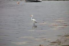 Snowy Egret, Egretta thula, on fishing,Paracas, Peru Royalty Free Stock Photo