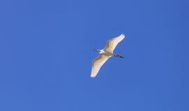Snowy Egret, Egretta thula Stock Photos