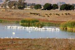 Snowy egret, Egretta thula, in flocks in Coyote Hills Regional Park, Fremont, alifornia. Snowy egret, Egretta thula, in flocks in Coyote Hills Regional Park Stock Images