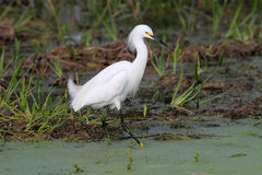 Snowy Egret (Egretta thula) Stock Photography
