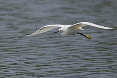Snowy Egret (Egretta thula) Flying Royalty Free Stock Image
