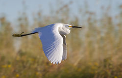 Snowy egret (Egretta thula) flying over sea shore Stock Photography