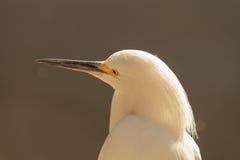 Snowy Egret, Egretta thula Royalty Free Stock Photo