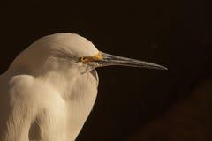 Snowy Egret, Egretta thula Stock Photo