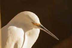 Snowy Egret, Egretta thula Stock Image
