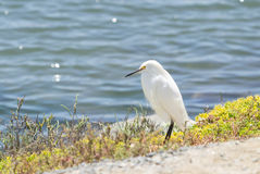 Snowy Egret, Egretta thula Royalty Free Stock Images