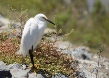 Snowy Egret, Egretta thula Royalty Free Stock Photography