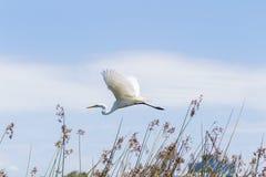 Snowy Egret, Egretta thula Stock Photography