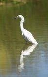 Snowy Egret, Egretta thula Royalty Free Stock Photos