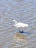 Snowy Egret, Egretta thula Royalty Free Stock Images