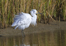 Snowy egret (Egretta thula) foraging in a lake Royalty Free Stock Photo