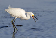 Snowy egret (Egretta thula) foraging in a lake. Royalty Free Stock Photos