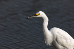 Snowy Egret Egretta thula foraging in the lake. Royalty Free Stock Image