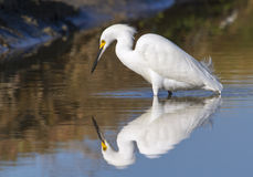Snowy egret (Egretta thula) foraging in a quiet lake at early windless morning Stock Photo