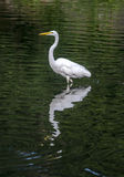 Snowy Egret (Egretta thula) Royalty Free Stock Photo