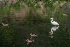 Snowy Egret (Egretta thula) Stock Photo