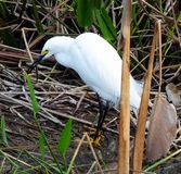 Snowy Egret (Egretta thula) Stock Photos