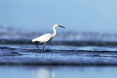 Snowy Egret, Egretta thula, in the nature coast habitat in the morning sunrise, Dominical, Costa Rica. blue ocean wawes. In background, elegant bird hunting stock image