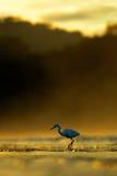 Snowy Egret, Egretta thula, in the nature morning coast habitat, sun in the morning sunrise, Dominvac, Costa Rica Stock Photography