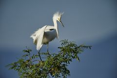 Snowy Egret Egretta thula perched in tree Stock Images