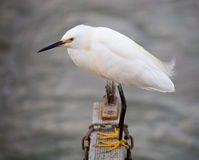 Snowy Egret (Egretta thula) perched on a wooden log Royalty Free Stock Photo