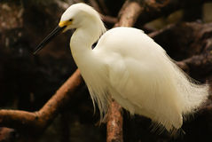Snowy Egret (Egretta thula), Rosario Archipelago, Cartagena de Indias, Colombia, South America Stock Image