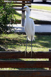 Snowy egret or Egretta thula. SANTOS, SP, BRAZIL - JULY 18, 2015 - Snowy egret, Egretta thula, heron species which occurs in the Americas, from Canada to Royalty Free Stock Images